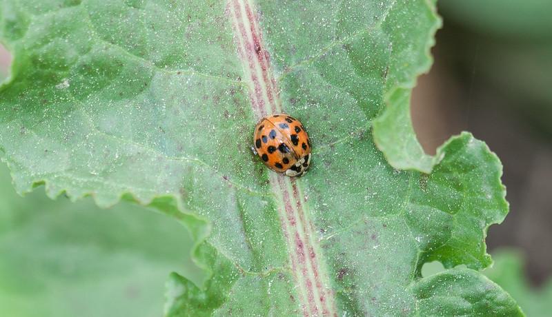 Harmonia axyridis, Multicolored Asian Lady Beetle