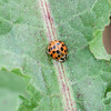 Harmonia axyridis, Multicolored Asian Lady Beetle