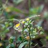 Dwarf Yellow