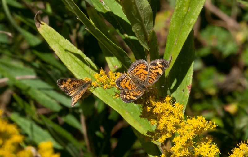 Male (Left) and Female (Right) Pearly Crescentspot
