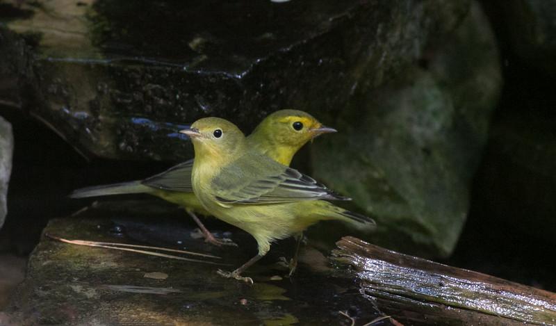 Yellow Warbler & Wilson's Warbler in Fall colors