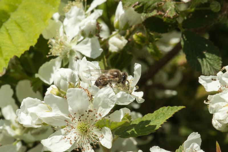Honey Bee on Dewberry