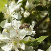 Honey Bee on Dewberry