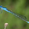Azure Bluet Enallagma aspersum