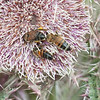 Honey Bees on Thistle