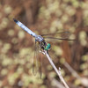Blue Dasher Pachydiplax longipennis