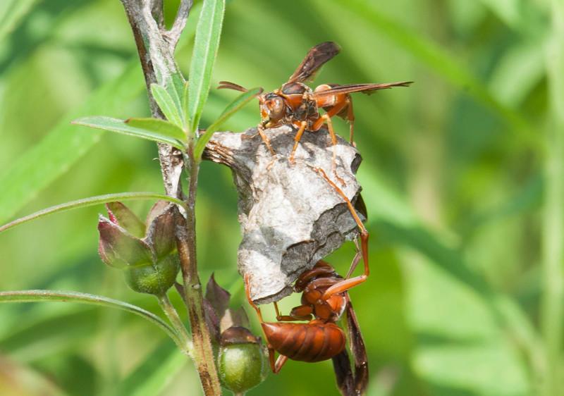 Red Wasp Polistes carolina