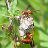 Red Wasp Polistes carolina