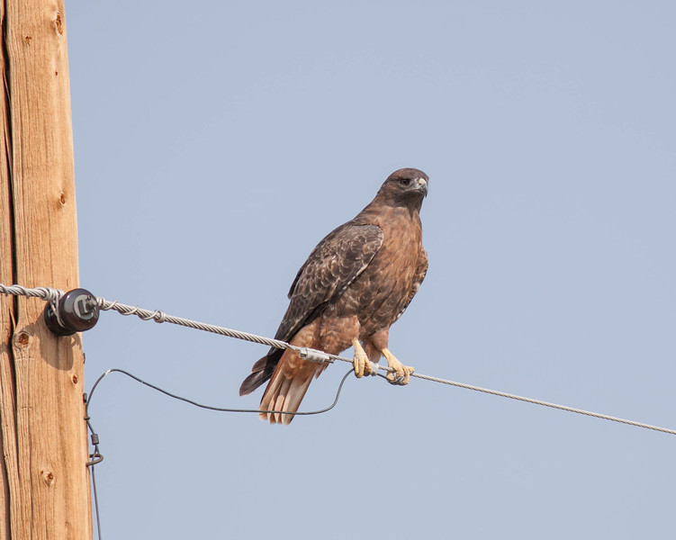 Red-tailed Hawk Buteo jamaicensis
