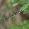 Plains Forktail Ischnura damula
