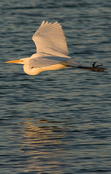 Great Egret - He finally got tired of the paparazzi and flew off.<br /> Nassau Bay Park, January 2008