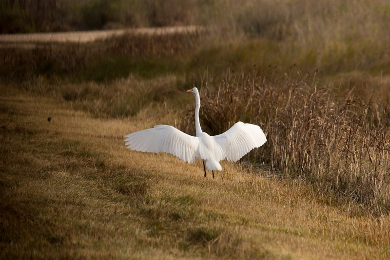 Great Egret landing.  Anahuac National Wildlife Refuge, January 2008