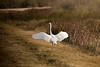 Great Egret landing.  Anahuac National Wildlife Refuge, January 2008