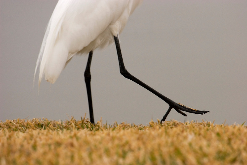Egret Feet - This bird started walking away from me and I was intrigued by the way he picked up his feet, so I took this shot.<br /> - January 2008