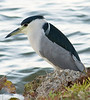 Black Crowned Night Heron - Nassau Bay Park<br /> - January 2008