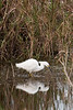 Snowy Egret, Anahuac National Wildlife Refuge, January 2008