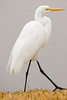 Great Egret - this is the same egret as in the photo of the Egret Feet.<br /> - Park in Nassau Bay, January 2008
