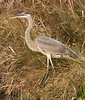 Great Blue Heron, Anahuac National Wildlife Refuge - January 2006