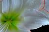 Amaryllis Picotee - Green Glow