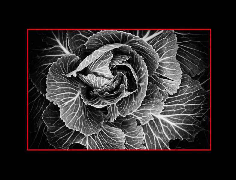 Macro - Fall Cabbage - Muttart - 20101201-DSC_2500-Matte