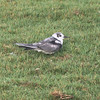 Black tern on lawn, non-breeding plumage