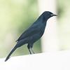Melodius blackbird