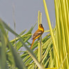 Oriole - appears to be young male changing to adult plumage