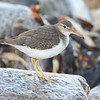 Spotted sandpiper, Seal Island, Sep 2008