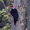 Male pileated woodpecker at Gaspereau Lake, Kings Cty, 29 Apr 2016