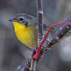 Common yellowthroat, first year male