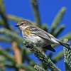 Yellow-rumped warbler, Hell's Pt, Lun Cty, 11 Oct 2016