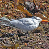 "Royal tern in Eastern passage, ""Earl"" fallout"
