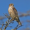 Broad-winged hawk, perched, Brier Island, 17 Sep 2012
