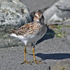 Least sandpiper near Liverpool, in Spring of 2010