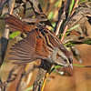 Swamp sparrow taking off