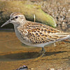 Least sandpiper, Hartlen Pt, Sep 2012