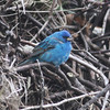 Male indigo bunting at Hartlen Pt, part of big fallout around 1 May 2012