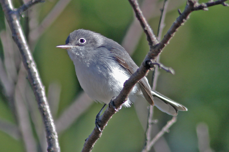 Blue-gray gnatcatcher, Duncan's Cove, HRM, Oct 29,2011