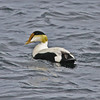 Common eider, male