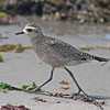 American golden plover, Brier Island, 18 Sep 2012