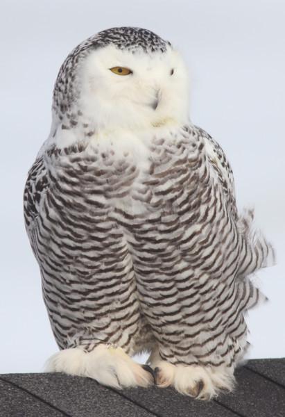 Snowy owl at Hartlen Point (HRM), 28 Dec 2013, female or juvenile