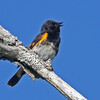Singing male American redstart