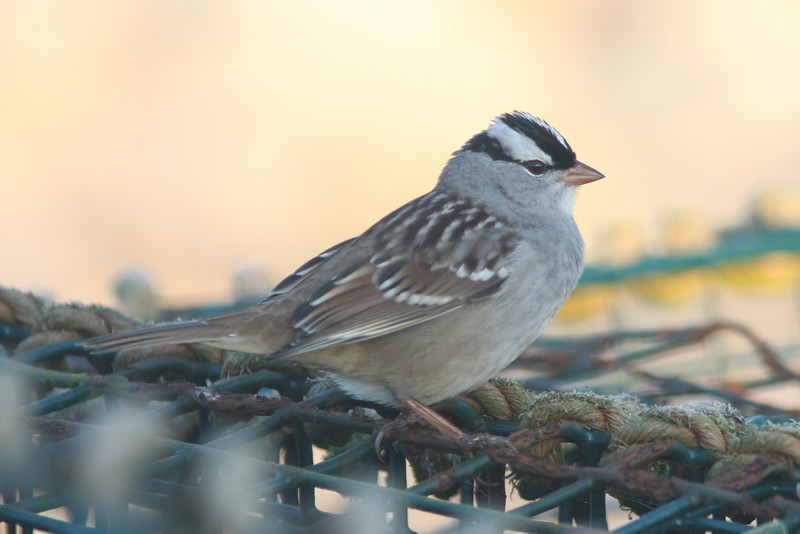 White-crowned sparrow, adult, Seal Island, Sep 2008