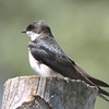 female tree swallow