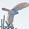 American kestrel taking flight, Brier Island, 17 Sep 2012
