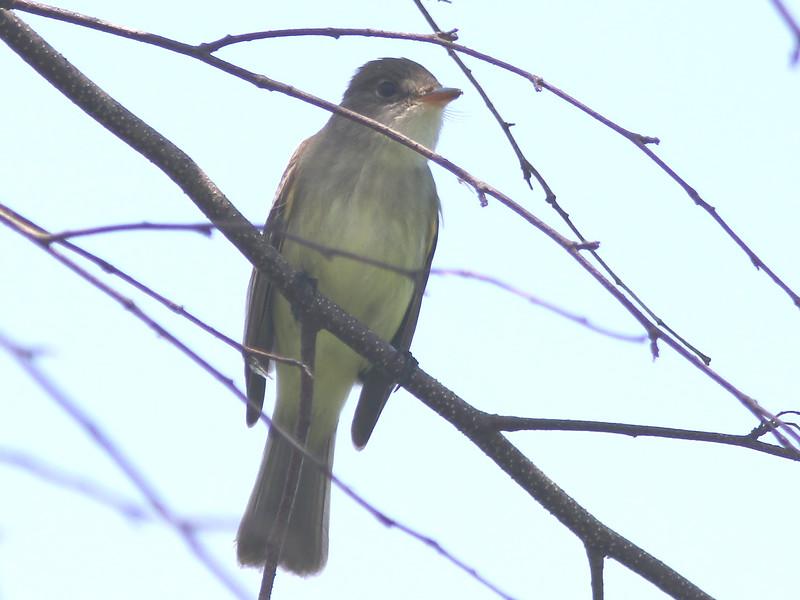 Willow flycatcher at Belleisle marsh