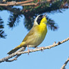 Common yellowthroat, singing, Brier Island, 20 May 2012