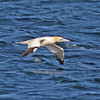 Northern gannet in flight, off Brier Island, 19 Sep 2012