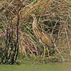 American bittern, Hartlen Pt, NS, around 10 Sep 2012, in septic pond