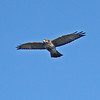 Broad-winged hawk in flight, 17 Sep 2012, Brier Island